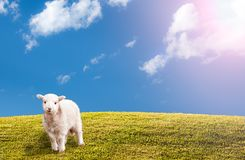 Green grassy meadow with blue sky and easter lamb stock photo