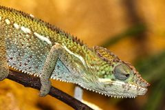 Green and Gray Chameleon Stock Photos