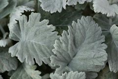 Green gray foliage with fuzzy texture royalty free stock image