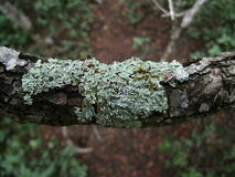 Green-gray lichen on tree branch in Swaziland Stock Photography