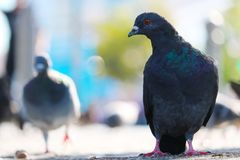 Green-gray rock pigeon in frontal view sitting on an urban ground in front of blurry pigeons in the sun. Green-gray rock pigeon columba livia in frontal view royalty free stock images