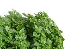 Green greek basil, isolated. On white background stock photo