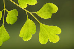 Green on green. Green leaf against blurred green background royalty free stock image