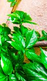 Green. Gain leaves Royalty Free Stock Images