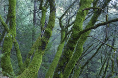 Green and green green. Here is what sums up this picture of a California forest in the county of nevada after a rainy winter. Very nice moss on the trunk of the Royalty Free Stock Photos