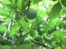 Green and green plum royalty free stock photo