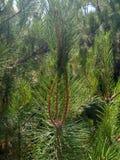 Crimean pine royalty free stock photo