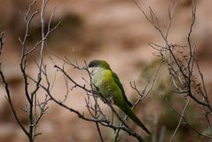 Green and grey parrot Stock Photography