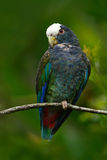 Green and grey parrot, White-crowned Pionus, White-capped Parrot, Pionus senilis, in Costa Rica. Lave on the tree. Parrots courtsh. Green and grey parrot, White Stock Photo