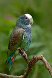 Green and grey parrot, White-crowned Pionus, White-capped Parrot, Pionus senilis, in Costa Rica. Lave on the tree. Parrots courtsh. Green and grey parrot, White Stock Image