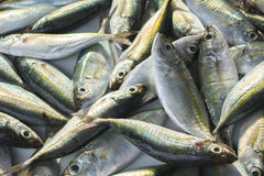 Green grey sea fishes on market table. Seafood local market store. Fresh fishing catch with mackerel. Sea fish ready for cooking closeup. Natural food Royalty Free Stock Photography
