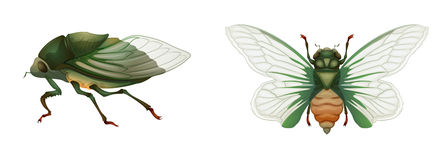 Green grocer. Illustration of a green grocer cicada (Cyclochila australasiae Stock Photography