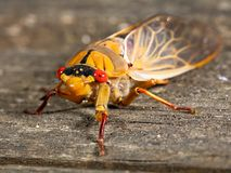 Green Grocer Cicada Royalty Free Stock Photos
