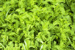 Green groundcover Royalty Free Stock Image