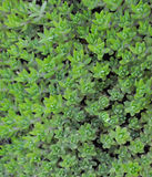 Green groundcover Stock Images