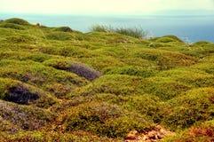 Green groundcover plant on greek island mykonos Royalty Free Stock Photos