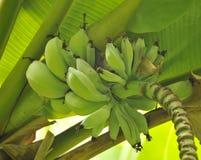Green Growing Bananas. Organic Bananas growing in the luscious Islands of Hawaii Stock Photos