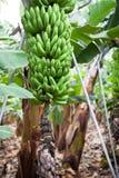 Green growing bunch of bananas on banana plantation, nobody Royalty Free Stock Photography