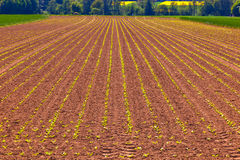 Green growing corn in field Stock Photos