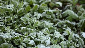 Green growing grass all in frost, morning frost stock video footage
