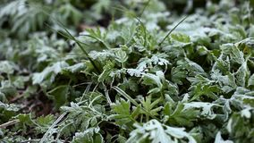Green growing grass all in frost, morning frost stock video