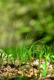Green growing grass close-up. Close-up of a green growing grass against a blurred green natural background. Focused on foreground royalty free stock photography
