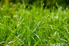 Green growing grass. Wet grass after a soft rain Royalty Free Stock Photos