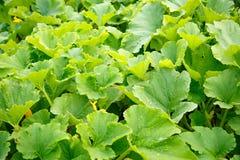 Green growing marrow tops Royalty Free Stock Photo