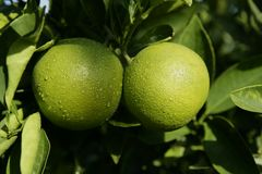 Green growing oranges hanging. From tree stock photo