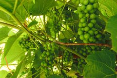 Green growing unripe grape background. Closest grape is blurred.  stock photos