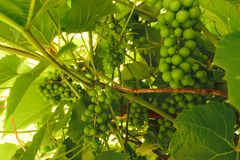 Green growing unripe grape background. Closest grapes are in focus.  royalty free stock image