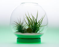 Green Growth - Air Plant Terrarium Stock Image