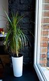 A green growth in a flowerpot near the window. Green growth in a flowerpot near the window stock photography