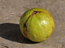 Green guava Stock Photography