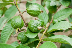 Green guava fruit  in garden Royalty Free Stock Photo