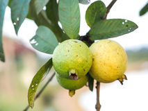 Green Guava fruit. On the tree with natural sun light Royalty Free Stock Photography