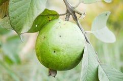 Green guava Stock Photos