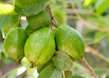 Green Guavas Hanging on Tree stock photos