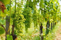 Green Hárslevelű (linden leaf) grape clusters in vineyard Royalty Free Stock Photo