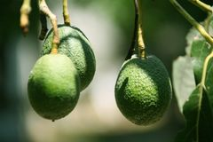 Green Haas Avocados on the Tree Royalty Free Stock Photos