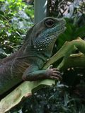Green Hagedis Lizard on a leave Stock Image