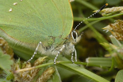Green Hairstreak butterfly Royalty Free Stock Image