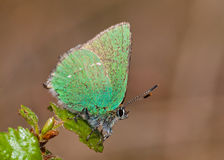 Green Hairstreak butterfly (Callophrys rubi) Royalty Free Stock Photos