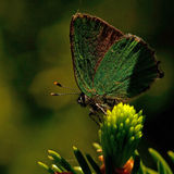 Green Hairstreak butterfly, Callophrys rubi Stock Photo