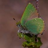Green Hairstreak butterfly, Callophrys rubi Stock Images