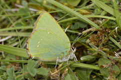 Green Hairstreak - Callophrys rubi Royalty Free Stock Photography