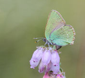 Green Hairstreak (Callophrys rubi) Butterfly with Green Camoufla Stock Photography