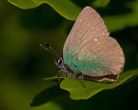 The green hairstreak royalty free stock images