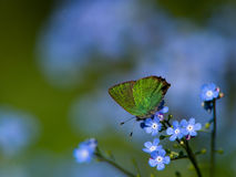 Green Hairstreak (Callophrys rubi), Sweden. The small but beautiful green hairstreak together with the blue flowers of the Siberian bugloss heartleaf, Uppland stock photography