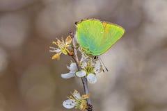 Green hairstreak, Callophrys rubi on white flower. Green hairstreak, Callophrys rubi, is a small green butterfly in the family Lycaenidae Stock Image